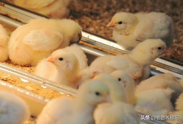 肉兔品种,中型优良肉兔品种的特性与生产性能及养殖要点