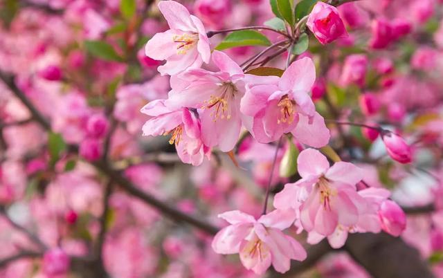 海棠品种,春天赏海棠丨50幅海棠花图,50个海棠品种