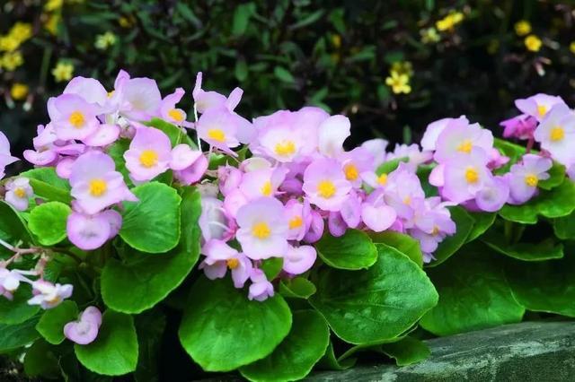 树荫下可种这些开花植物,耐寒又耐阴,北方地区可都可露养户外