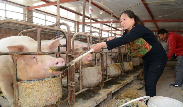 今日猪财神爷再次为全国各地的养猪户关心