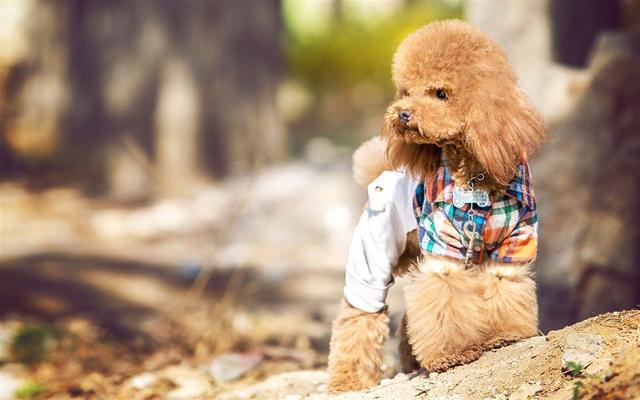"""泰迪狗图片,泰迪为何从""""千狗之上""""到""""千狗之下"""",背后有这些原因"""