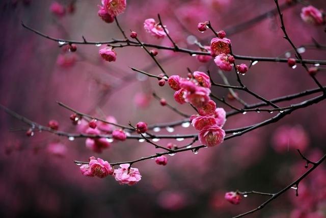 春的全诗,毛主席诗词《卜算子·咏梅》品读,俏也不争春,只把春来报