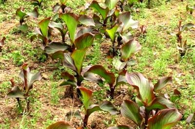 芭蕉芋的吃法,优质牧草芭蕉芋,人工种植时,要注意什么?