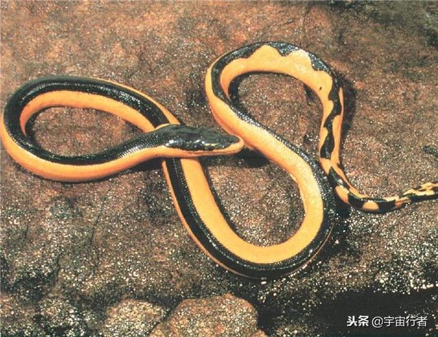 海蛇的吃法,这种海蛇的毒性十分强烈,比眼镜蛇毒10倍,被它咬到很难生还