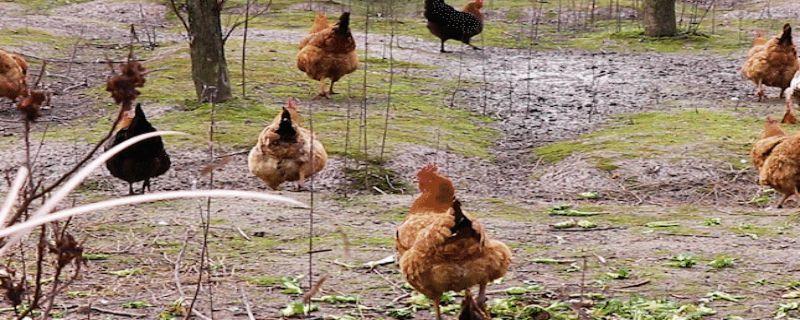 散养鸡不打疫苗可以吗?散养鸡不打疫苗行不行?