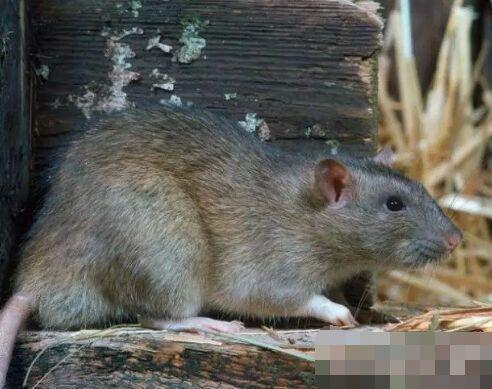 家里有老鼠怎么办 家中放一物绝对没老鼠 被老鼠咬了怎么办