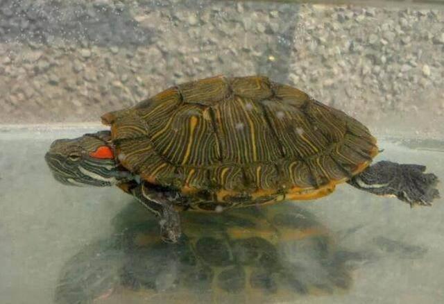 家养龟为什么不能养双