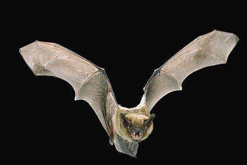 蝙蝠入屋是不吉利的说法