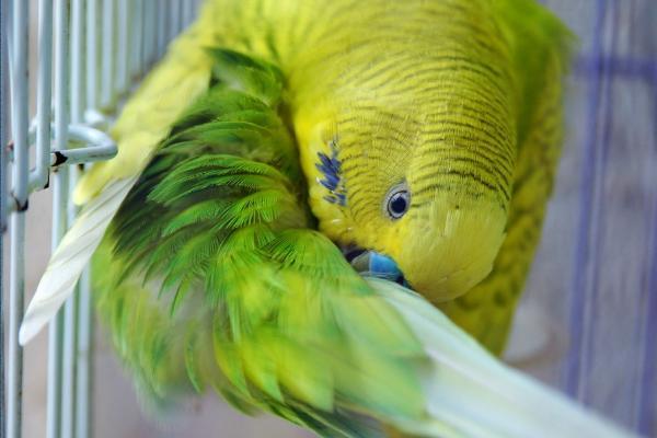 虎皮鹦鹉怎么养不飞走, 逃跑的虎皮鹦鹉能飞多远
