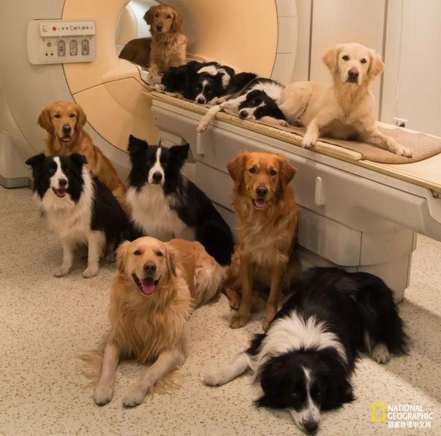 狗是狗,二哈是二哈,边牧是你同学