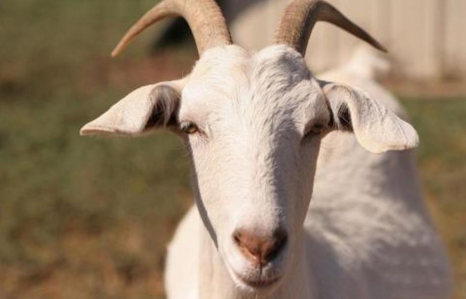 可贝思羊奶粉配方表怎么看?