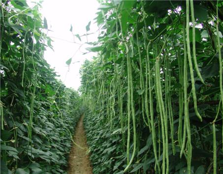 豆角春季栽培技术