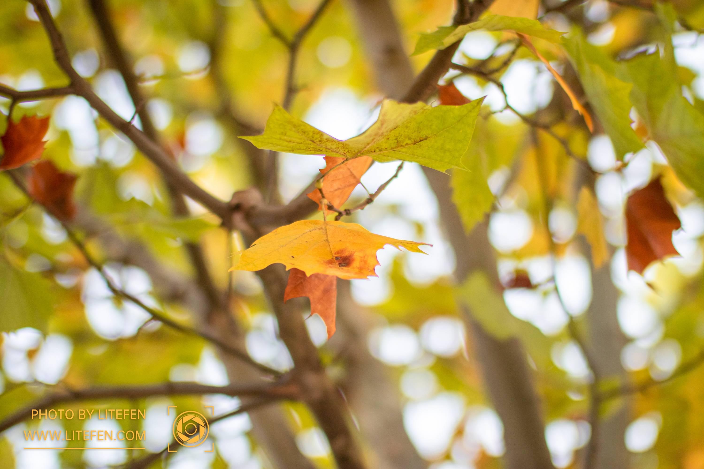 枫叶——秋