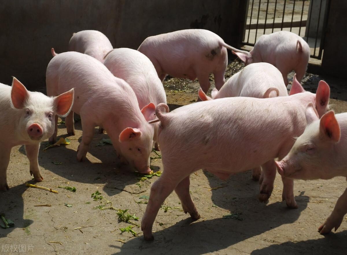 猪价涨翻天!单日上涨超1元,屠企再现抢猪大战,市场又缺猪了?