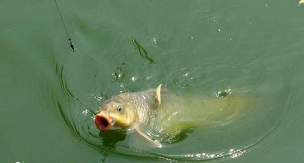 野钓鲤鱼的最佳方法,没有秘诀,只需掌握这几个技巧