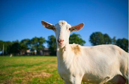 全球十大羊奶粉品牌有哪些?